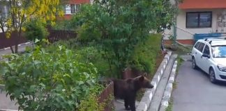Urs printre blocuri la Busteni